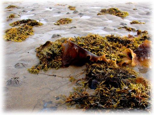 Морсие водоросли.jpg